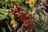KANGAROO PAWS (kelsey61) Tags: flower flowers floweringplants garden landscaping plants plant yard kangaroopaws