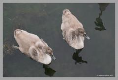 Two cygnets on Wickford Cove (James0806) Tags: wickford rhodeisland usa swans cygnets waterbirds birds