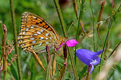 Argynnis aglaja - the Dark Green Fritillary (BugsAlive) Tags: butterfly butterflies mariposa papillon farfalla schmetterling бабочка animal outdoor insects insect lepidoptera macro nature nymphalidae argynnisaglaja darkgreenfritillary heliconiinae wildlife lozère montlozère parcnationaldescévennes liveinsects france
