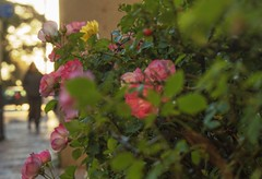 Rafael will arrive (mara.arantes) Tags: flowers bokeh street light roses rose flower plant rua pessoa