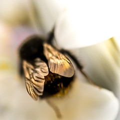 Bling Wings (DobingDesign) Tags: bee insect wings bokeh macro depthoffield flower petals soft bumblebee leathery membrane nature pores hairy insecthair friend busybee