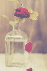 28/fragile (xelea) Tags: 7dwf stilllife rosa rose
