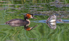 Great crested grebes (badger2028) Tags: great crested grebe reflection podiceps cristatus