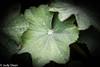 Alchemilla Mollis (judy dean) Tags: judydean 2017 alchemillamollis ladysmantle green droplets drizzle