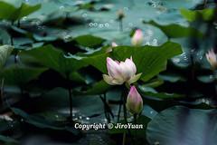 夏 雨 荷 (JiroYuan) Tags: 夏天 荷叶 荷花 下雨 雨水 涟漪 绿色 植物 湖 河 花
