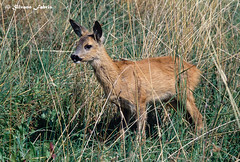 Capriolo giovane (silvano fabris) Tags: capreolus wildlife photonature nature faunaselvatica animals animali capriolo