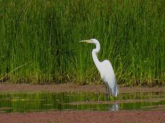 Garza blanca. (jagar41_ Juan Antonio) Tags: aves ave animales pájaros pájaro