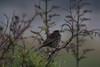 IMG_0750 (armadil) Tags: mavericks beach beaches californiabeaches bird birds sparrow