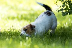 Sara. Enjoy the summer. 25/52 (Tõnno Paju) Tags: sara 52weeksfordogs animal dog pet summer outdoors sun grass jack russel terrier