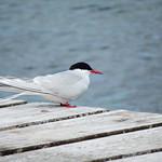 Arctic Tern chick thumbnail