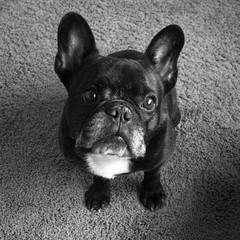 06-12-17 (2787) RAW File (Lainey1) Tags: 061217 2787 2787oz 365 theeighthyear raw bw monochrome oz ozzy dog frenchie bulldog lainey1 elainedudzinski frogdog zendog frenchbulldog ozzythefrenchie leica leicadlux4