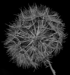 time (keith ellwood) Tags: seeds flora flower weed tonal monochrome black white macro close up