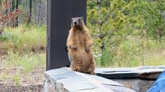Yellow-bellied Marmot (sedge23) Tags: okanagan peachland marmots yellowbelliedmarmot