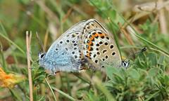 8855 Plebejus argus (jon. moore) Tags: preesheath shropshire silverstuddedblue plebejusargus lepidoptera