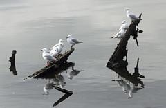 Seagulls (iansand) Tags: seagull silvergull homebushbay reflection