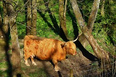 Highland Cow in the evening sunlight. (Eddie Crutchley) Tags: europe uk scotland aberfoyle outdoor sunlight nature highlandcow simplysuperb greatphotographres