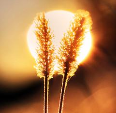 Alike (Robyn Hooz) Tags: weed erba luce light sole sunrise alike similar mood bliss