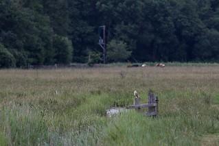 Barn Owl perching