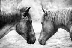 Friends (Petra Ries Images) Tags: horses pferde friends freunde fohlen bw blackandwhite sw schwarzweis tiere animal animals mustangs portrait