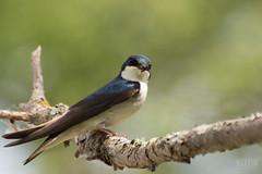 Hirondelle bicolore // Tree Swallow (Keztik) Tags: nikon d3200 dslr martinville bird oiseau hirondelle bicolore tree swallow tachycineta bicolor blue bleu