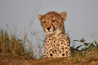 Cheetah Cub at Sunset