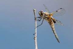 Four Spotted Chaser (Andrew_Leggett) Tags: fourspottedchaser libellulaquadrimaculata summer dragonfly maco animal inspect perched blue