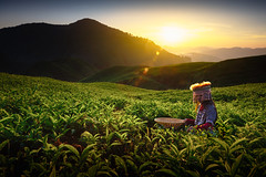 Tea plantation (Patrick Foto ;)) Tags: agriculture asia background beauty beverage bush cameron ceylon countryside cultivation farm farmland field flora foliage forest garden girl green grow growth harvest harvesting herb herbal highland hill idyllic india industry land landscape malaysia meadow mountain nature nobody organic outdoor people plant plantation rural sunny tea terrace tribal tropical valley worker tanahrata pahang my