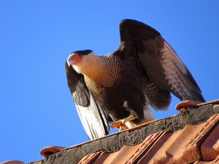 Caracará -  Falconiformes/Falconidae