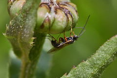 Ichneumon wasp ovipositing sequence #3 (Lord V) Tags: macro bug insect wasp ichneumon egglaying oshiro