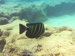 Hanauma Bay 2 (venusnep) Tags: hanaumabay hanauma bay underwater tropicalfish tropical fish iphone watershot watershotpro hawaii snorkeling travel travelphotography may 2018