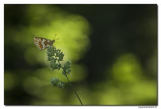 Mélitée du mélampyre ou Damier Athalie -  Melitaea athalia #3