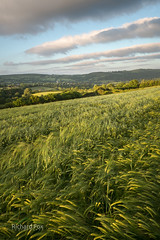 Streets and Streaks (http://www.richardfoxphotography.com) Tags: convectivecumulusrolls cumulus cloudstreets wheat barley crop farmland dartmoor sunset agriculture moretonhampstead