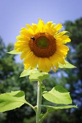 Bumblebee and Sunflower (ChristianRock) Tags: pentax k10d k10 ccd smcm m 50mm 50 f4 macro garden nature summer
