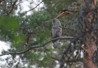 Chouette lapone Great Grey Owl 2409_DxO.jpg
