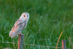 Barn Owl (Tyto Alba) (EddieFinnis) Tags: post perch fence wire barbed predator hunter wild dusk evening green grass owl barn white ghostly talons sharp feathers eyes stare glow wings face