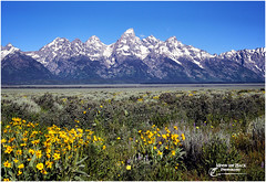 NATURE'S BLING ... (Aspenbreeze) Tags: grandtetonnationalpark grandtetons tetons mountains antelopeflats flowers muleearflower wildflowers yellowflowers mountainpeaks nature wyominglandscape landscape bevzuerlein aspenbreeze moonandbackphotography