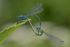 damselflies (Bea Antoni) Tags: tamron canon natur nature closeup makro macro grün green insekt insect libellen libelle damselfly damselflies