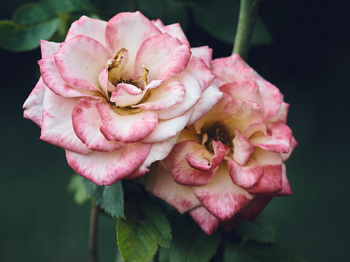 Rosenpaar