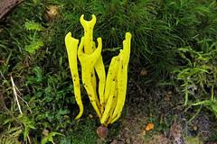 Ramaria lorithamnus (gadims) Tags: fungi tasmania florentine
