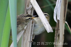 Sedge warbler feeding by the main hide