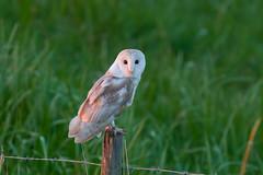 Barn Owl (Tyto Alba) (EddieFinnis) Tags: barn owl perch white stare eyes predator dusk hunter talons ghostly life death wings feather post fence fen suffolk