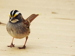 White-Throated Sparrow (■ ZM ■) Tags: bird oiseau wildlife bruantàgorgeblanche whitethroatedsparrow cute