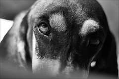 close up Kelly (andaradagio) Tags: andaradagio bianconero bw dog cane miglioramicodelluomo nadiadagaro