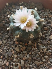 Lophophora williamsii texana (djnionas) Tags: peyote williamsii lophophora