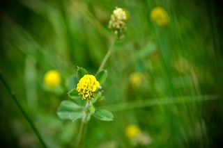 Yellow Clover