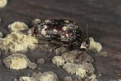 tumbling flower beetle (myriorama) Tags: tumblingflowerbeetle polyphaga cucujiformia tenebrionoidea mordellidae mordellini mordellaria mordellariaserval
