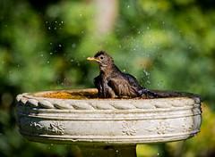 Blackbirds brush up (Stu thatcher) Tags: bird uk water bath fast shutter speed birds wet splash britain england english worcester worcestershire