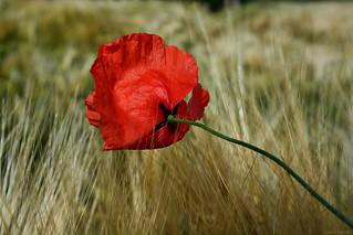 Poppy flower in grain field #7