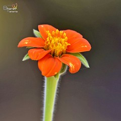 Mexican Sunflower (Tithonia roundifolia) @My garden Radhe Wood Gujarat 23-01-2017  Clicked with 📷 Nikon D7200 with 200-500 lens  #flowers #flower #beaut #beautiful #tithonia #nature #natural #naturally #beautiful  #love #garden (bharatkaneria) Tags: tithonia beaut beautiful natural love nature flower flowers garden naturally