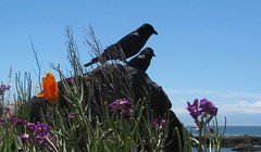 summer_1856R (Michael.C.G) Tags: ocean oakbay mcneillbay crows